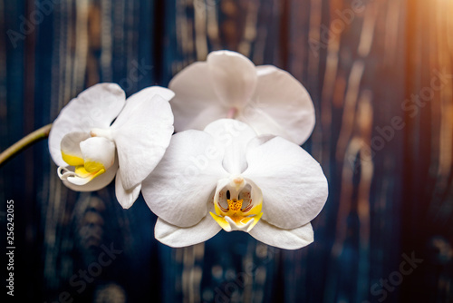 Branch of a White orchid on a brown wooden background  - 256242055