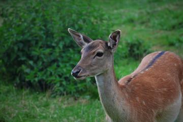 Hirschkuh - Reh - Waldtiere