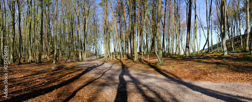 Foto Murales Panorama, spring in forest, young leaves on the branches