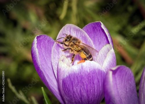 pszczoła miodna w krokusie