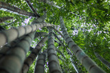 Green Bamboo Panoramiza Background