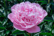 Head of a pale pink peony flower.