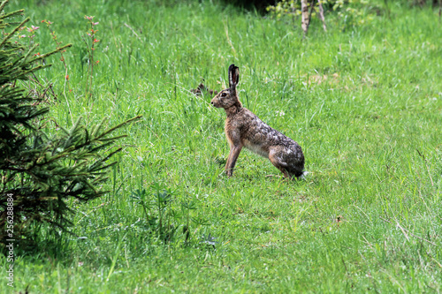 The wild hare sits in the green grass