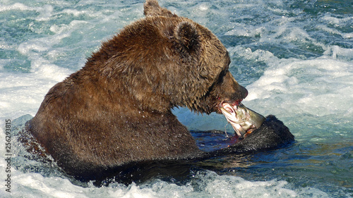 Grizzly eating salmon Brooks Falls