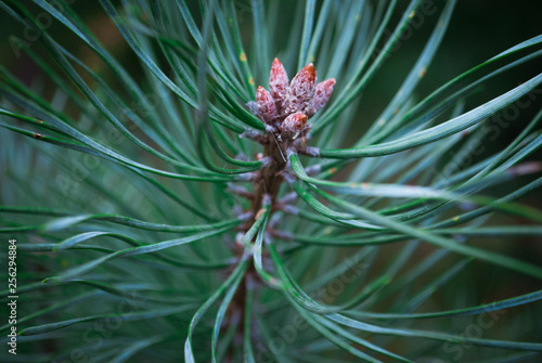 Closeup photo of green needle pine tree on the right side of picture.