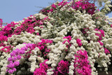 Blossoming bougainvillea spectabilis (great bougainvillea) in Thailand