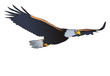 Eagle with spread wings vector or color illustration