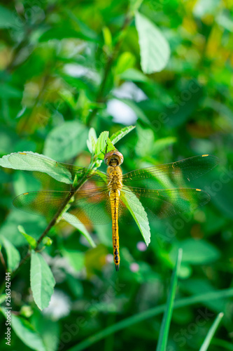 beautiful orange dragonfly perched on the branch, back view