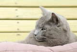 gray cat lying on cushion and looking