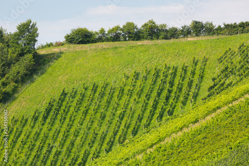 Landscape view of vineyard on hill. These wine grapes are growing in south Styrian in Leutschach, Austria. © sasimoto