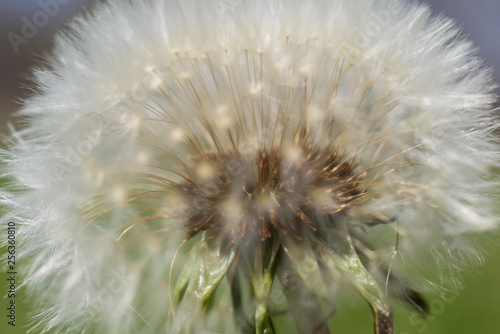 Close up dandelion seed - 256360810