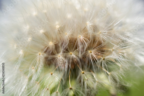 Dandelion seed close up - 256360850