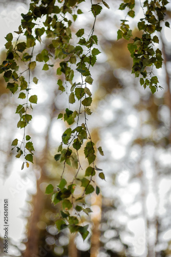 birch branch with green leaves - 256369261