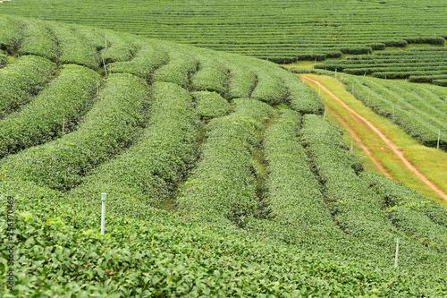 fototapeta na ścianę Tea plantation in Chiang Rai, Thailand