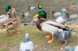 Leinwanddruck Bild - Ducks and pigeons in the park at spring, Poland