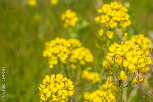 Leinwanddruck Bild 菜の花 canola flower 嘉瀬川 佐賀県