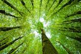 Fototapeta Fototapeta las, drzewa - Surrounded by Oak and Lime Trees, looking up, low angle shot © AVTG
