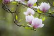 canvas print picture - Blühender Magnolienast vor grünem Hintergrund