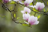 Blühender Magnolienast vor grünem Hintergrund