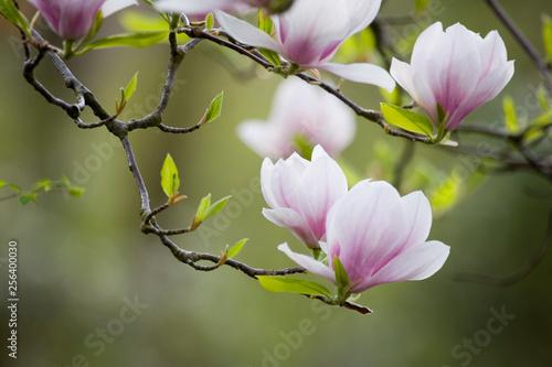 Blühender Magnolienast vor grünem Hintergrund © Photography