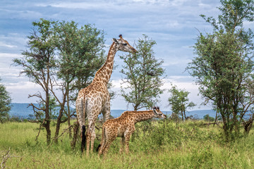 Giraffes mother and baby in Kruger National park, South Africa ; Specie Giraffa camelopardalis family of Giraffidae
