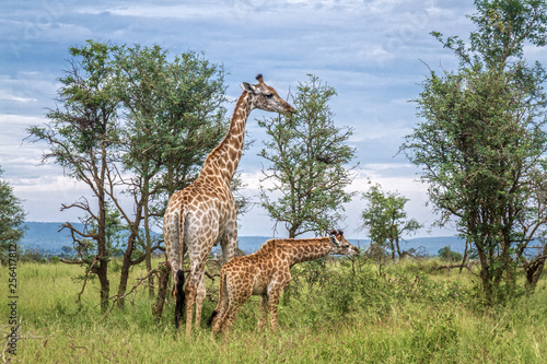 Giraffes mother and baby in Kruger National park, South Africa ; Specie Giraffa camelopardalis family of Giraffidae © PACO COMO