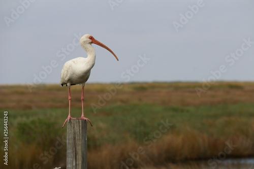 Louisiane - White Ibis