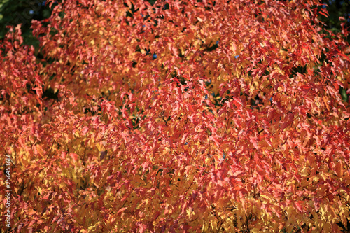 red and yellow leafs at autumn - 256453617