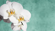 White orchid on green background. Copy space. 16х9