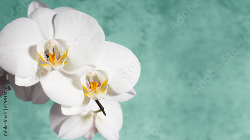 White orchid on green background. Copy space. 16х9  - 256461268