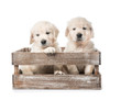 Four golden retriever puppies in basket isolated