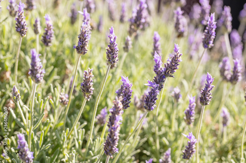 Lavender flowers, Closeup view of a lavender field blooming in spring - 256480860