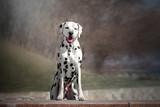 dalmatian dog cute portrait walking in the city