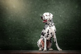 dalmatian dog beautiful portrait green background forest