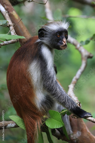 funny red colobus monkey in forest