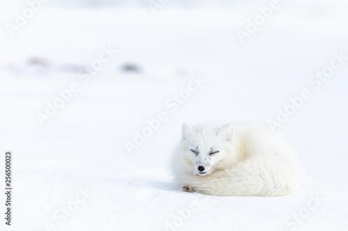 fototapeta na ścianę Arctic fox on the snow in Svalbard.
