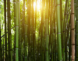 Bamboo green trees growing tropical sun