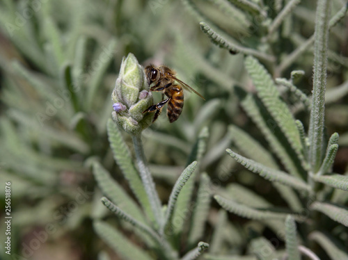 A honey bee on a lavender plant flower at the Botanical Garden, Cordoba, Argentina.