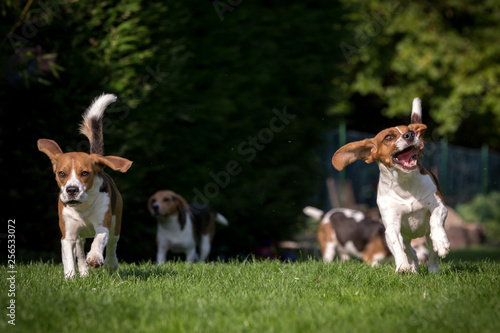 canvas print picture Spielende Beagle