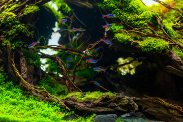 Neon fish, Neon tetra fish science name Paracheirodon innesi in beautiful nature decoration planted tank with freshwater aquarium for recreation