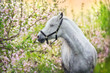 White horse portrait in spring pink blossom tree