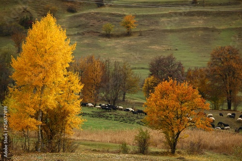 fototapeta na ścianę Lots of colorful autumn colors of a beech tree in the forest.savsat/ARTVİN/TURKEY