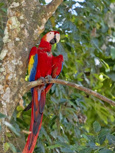 Scarlet Macaw, Ara macao, is abundant in Copan National Park, Honduras