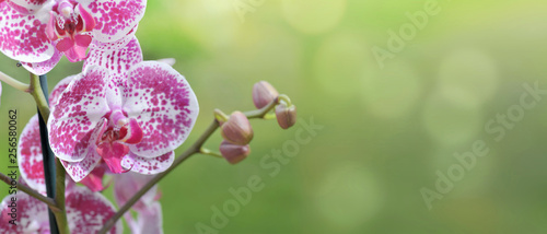 beautiful pink and white orchid on green background in panoramic size - 256580062