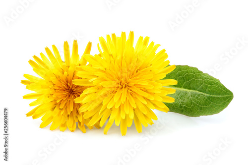 Dandelion officinale flower isolated. - 256604479