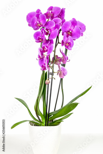 Violet orchid in flowerpot