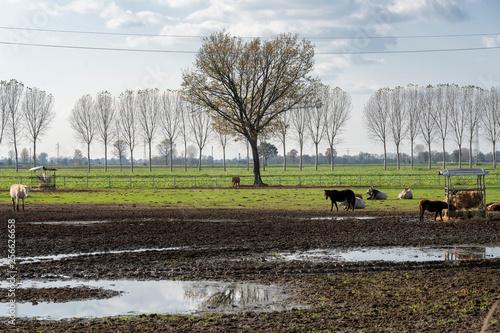 Cows in a farm near Lodi, Milan