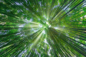 nature background of bamboo forest with sun rays © mimadeo