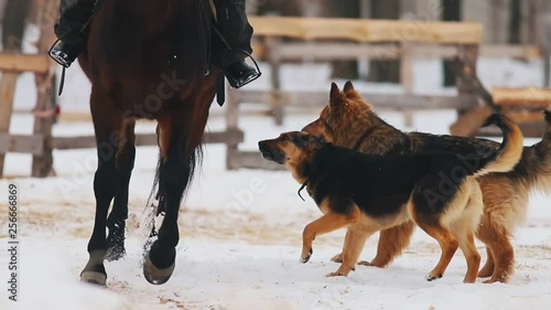 A horse walking on a snowy ground. Dogs running near it