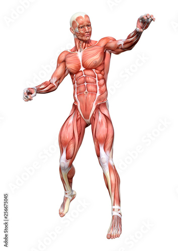3D Rendering Male Anatomy Figure on White © photosvac